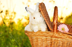 Rabbits in the basket on meadow and flower Stock Image