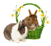 Rabbits and basket and narcissus Stock Photography