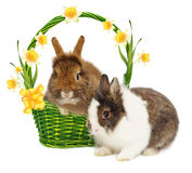 Rabbits in basket with narcissus and bow Royalty Free Stock Photography