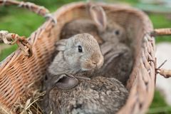 Rabbits in basket on farm. Rabbits in basket nature background Royalty Free Stock Image