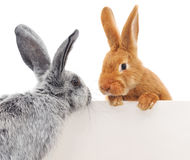 Rabbits with blank Stock Images