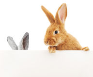 Rabbits with blank Royalty Free Stock Photo