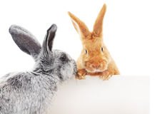 Rabbits with blank Stock Photos