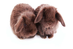 Rabbits breed of `French sheep` Royalty Free Stock Images