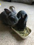 Rabbits. Bunnies pets rabbits hay feeding Stock Photo