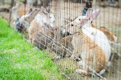 Rabbits Bunny in wired cage Royalty Free Stock Photography
