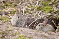 Rabbits at burrow. Two baby wild European rabbits sit outside their burrow at a rabbit warren in the UK Stock Photography