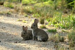 Rabbits in Bush Royalty Free Stock Photos