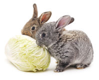 Rabbits and cabbage. Stock Image