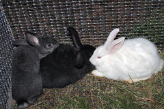 Rabbits in a cage Royalty Free Stock Photo