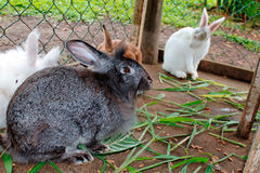 Rabbits in cage. Some rabbits in cage in the farm Royalty Free Stock Photography