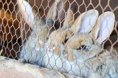 Rabbits in a cage. Close up of Cute little rabbits in a cage at farm looking at the camera stock photos