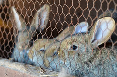 Rabbits in a cage. Close up of Cute  little rabbits in a cage   at farm  looking at the camera Stock Images
