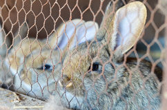 Rabbits in a cage. Close up of Cute  little rabbits in a cage   at farm  looking at the camera Royalty Free Stock Image