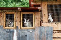 Rabbits in a cage at farm Stock Photos