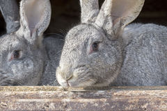 Rabbits in a cage Stock Photography