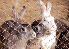 Rabbits in cage Stock Photography