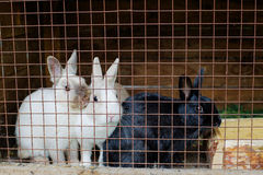 Rabbits in a cage Stock Image