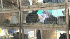 Rabbits in cages close-up. Livestock animal husbandry,. Animal breeding stock raising stock footage