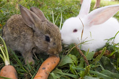 Rabbits and carrot. Two rabbit lying on the grass next to the carrot Stock Photography