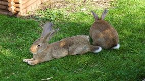 Rabbits chewing grass in garden stock video footage