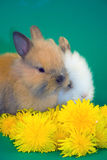 Rabbits and dandelion flowers Stock Image