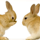 Rabbits dating Royalty Free Stock Image