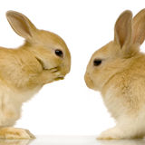 Rabbits dating Royalty Free Stock Photos