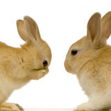Rabbits dating Royalty Free Stock Photo
