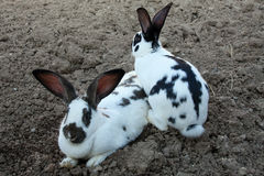 Rabbits on dirt Royalty Free Stock Photo