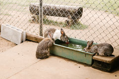 Rabbits drink water in zoo. Fukuoka, Japan Royalty Free Stock Photo