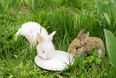 Rabbits drinking milk from a saucer on a green grass. Two small rabbits drinking milk from a saucer on a green grass. White and brown bunny. Soft focus Royalty Free Stock Photography