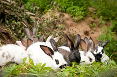Rabbits eat grass. Many rabbits eat grass on the farm Stock Image