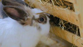 Rabbits eat hay in farm. Rabbits eat hay in contact zoo stock video