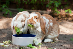 Rabbits eating Royalty Free Stock Images