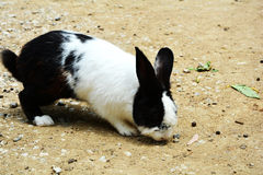 Rabbits eating. Rabbits Black and White eating Royalty Free Stock Photos