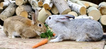 Rabbits eating carrot Stock Photography