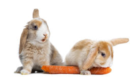 Rabbits eating  carrot Stock Photos