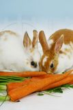 Rabbits eating carrots. A view of two cute little rabbits eating on a bunch of carrots Stock Photo