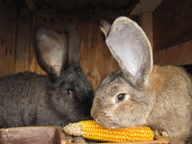 Rabbits. Eating corn. Belgian giant Royalty Free Stock Images