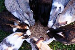 Rabbits eating food Stock Photos