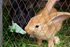 Rabbits eating grass Royalty Free Stock Photo