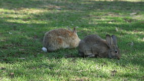 Rabbits eating grass stock footage