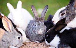 Rabbits eating on lawn Stock Image