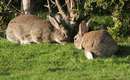 Rabbits Eating Royalty Free Stock Photos