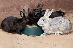 Rabbits eating rabitt food Royalty Free Stock Photo