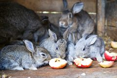 Rabbits eating red apples Stock Photos