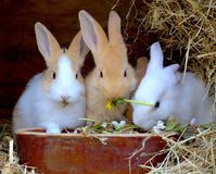 Rabbits. Eating rabbits in their hutch stock photography