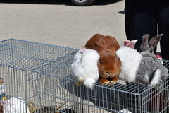 Rabbits at the exhibition Stock Photography