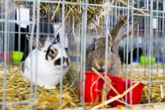 Rabbits expose at a pet expo. In Bucharest Royalty Free Stock Photography